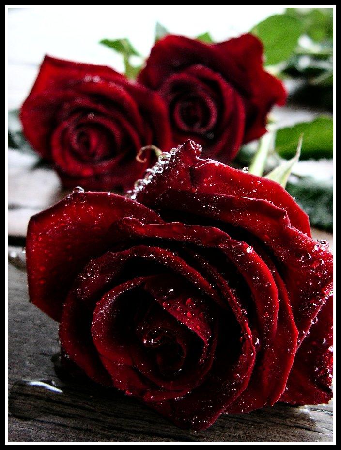 Rosas rojas. (1/3)
